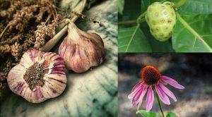 echinacia, garlic, morinda