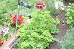herb garden, herbs
